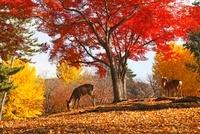 奈良公園 鹿と紅葉 11076002413  写真素材・ストックフォト・画像・イラスト素材 アマナイメージズ