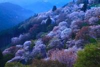 夜明け前の吉野山 ヤマザクラ 11076002417  写真素材・ストックフォト・画像・イラスト素材 アマナイメージズ