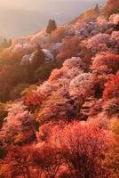 朝日に染まる吉野山 ヤマザクラ