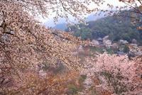 吉野山のヤマザクラ 11076002420  写真素材・ストックフォト・画像・イラスト素材 アマナイメージズ