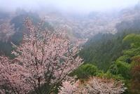 吉野山のヤマザクラ 11076002421  写真素材・ストックフォト・画像・イラスト素材 アマナイメージズ