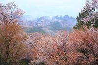 吉野山のヤマザクラ 11076002422  写真素材・ストックフォト・画像・イラスト素材 アマナイメージズ