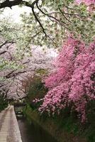 哲学の道 ベニシダレザクラと桜並木
