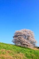 山の辺の道 桜 11076002534  写真素材・ストックフォト・画像・イラスト素材 アマナイメージズ