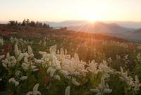 霧ヶ峰高原・車山肩のコバイケイソウと夕日