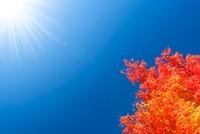 紅葉と太陽光 11076003028| 写真素材・ストックフォト・画像・イラスト素材|アマナイメージズ