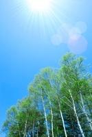 富士見高原 白樺林の新緑と太陽光