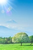 ヤマナシの木と富士山、太陽光 11076003072| 写真素材・ストックフォト・画像・イラスト素材|アマナイメージズ
