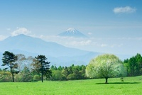 ヤマナシの木と富士山 11076003173| 写真素材・ストックフォト・画像・イラスト素材|アマナイメージズ