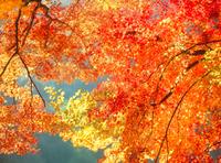 香嵐渓の紅葉 11076003638  写真素材・ストックフォト・画像・イラスト素材 アマナイメージズ