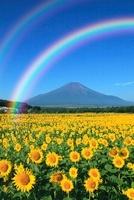 二重の虹架かる夏の富士山とヒマワリ畑