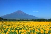 夏の富士山とヒマワリ畑