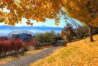 笛吹川フルーツ公園よりイチョウ並木紅葉と富士山 11076004190| 写真素材・ストックフォト・画像・イラスト素材|アマナイメージズ
