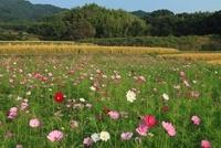 山の辺の道 コスモスと稲田 11076004259  写真素材・ストックフォト・画像・イラスト素材 アマナイメージズ