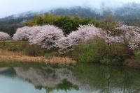 山の辺の道 三輪山とサクラ