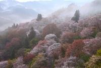 吉野山 上千本のヤマザクラ