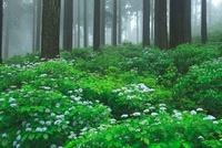 コアジサイと杉林