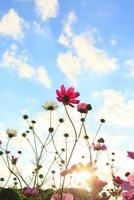 コスモスと夕日 11076004449| 写真素材・ストックフォト・画像・イラスト素材|アマナイメージズ