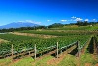 ブドウ畑と八ヶ岳