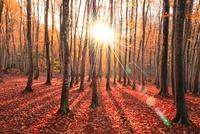 ブナ紅葉と朝日 11076004579| 写真素材・ストックフォト・画像・イラスト素材|アマナイメージズ