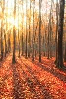ブナ紅葉と朝日
