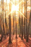 ブナ紅葉と朝日 11076004848| 写真素材・ストックフォト・画像・イラスト素材|アマナイメージズ