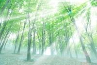 ブナ新緑と光芒