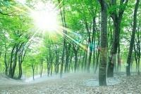 ブナ新緑と太陽