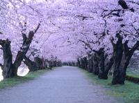 弘前城趾公園・桜のトンネルのサクラ並木