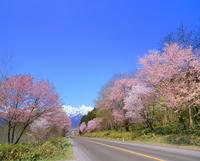 サクラ並木と芦別岳