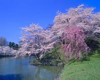 弘前城趾公園の堀とサクラ
