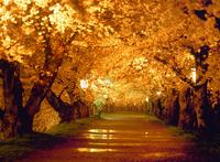 弘前城趾公園・桜のトンネルの夜景