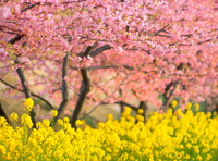 河津桜とナノハナ