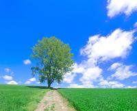 木と秋蒔き小麦畑