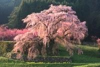 サクラとハナモモ(又兵衛桜) 11076005951| 写真素材・ストックフォト・画像・イラスト素材|アマナイメージズ