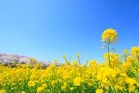 ナノハナと桜並木  11076006343| 写真素材・ストックフォト・画像・イラスト素材|アマナイメージズ