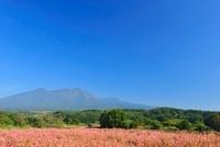 赤ソバの花と八ケ岳 11076006380| 写真素材・ストックフォト・画像・イラスト素材|アマナイメージズ
