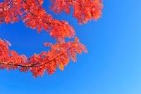 ナナカマドの紅葉と青空