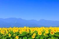 明野のヒマワリ畑と南アルプス・甲斐駒ケ岳 11076006440| 写真素材・ストックフォト・画像・イラスト素材|アマナイメージズ