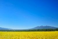 稲穂と八ケ岳