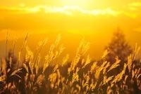 ススキと夕日 11076006467| 写真素材・ストックフォト・画像・イラスト素材|アマナイメージズ