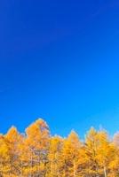 唐松紅葉と青空