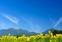 清里のヒマワリ畑と八ケ岳