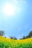 ナノハナ畑と太陽