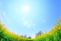 ナノハナ畑と太陽 11076006854| 写真素材・ストックフォト・画像・イラスト素材|アマナイメージズ