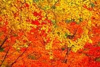 紅葉 11076007115  写真素材・ストックフォト・画像・イラスト素材 アマナイメージズ