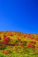 芳ヶ平 ナナカマドの紅葉