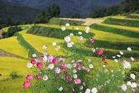 秋の棚田とコスモス 11076007386| 写真素材・ストックフォト・画像・イラスト素材|アマナイメージズ