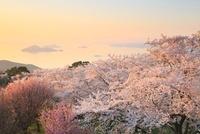 紫雲出山のサクラと瀬戸内海 11076007393| 写真素材・ストックフォト・画像・イラスト素材|アマナイメージズ