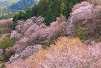 吉野山 中千本のサクラ 11076007394  写真素材・ストックフォト・画像・イラスト素材 アマナイメージズ
